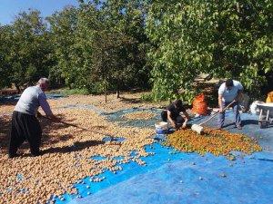 Kahramanmaraş'ta ceviz ve incir hasadı başladı