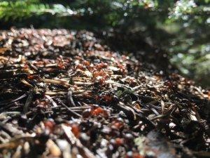 Uludağ'ın orman bekçileri kırmızı karıncalar