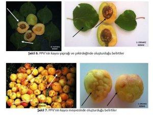 Malatya'da meyve üreticilerine şarka virüsü uyarısı