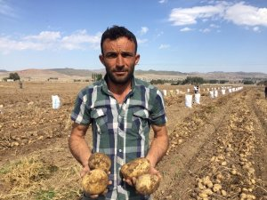 Niğde'de 2 çeşit yerli patates hasadı yapıldı