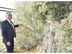 Başkan Yılmaz, 8 asırlık zeytin ağacından hasat yaptı