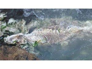 Ölmüş yunus balıkları kayalıklara vurdu