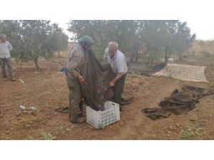 İslahiye'de zeytin hasadına başlandı