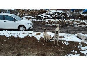 Sürüyü koruyan çoban köpeklerinin drone ile imtihanı