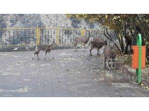 Yaban keçileri  sürü halinde ilçeye indi