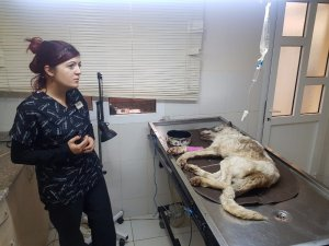 Açlıktan bitkin düşen sokak köpeğine belediye sahip çıktı