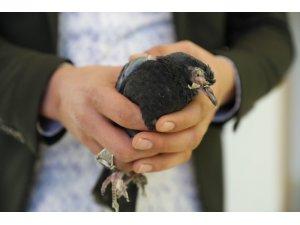 Yaralı güvercinin belediyeye sığındığı anlar kamerada