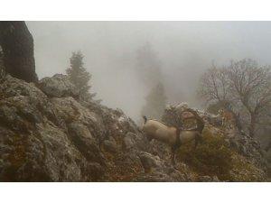 Burdur'da Yaban Keçilerinin görsel şöleni