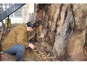 400 yıllık anıt ağaç kurtarılabilecek