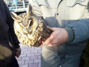 Konya'da kulaklı orman baykuşu bulundu