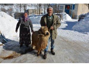 Koyunları anne-baba şefkatiyle bakıyorlar