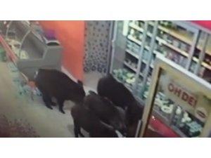 Bu mahalleyi domuzlar bastı
