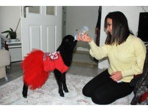 Genç kadın, annesi tarafından reddedilen kuzuya annelik yapıyor