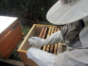 Mevsim şartları arıları strese soktu