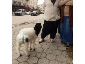Etrafı kirletmesin diye koyununa çocuk bezi bağladı