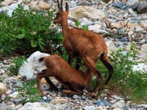 Erzincan'da dağ keçileri havadan görüntülendi