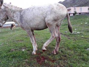 Ayağı kopan katır tedavi altına alındı