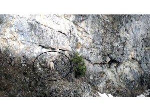 Dağ keçisinin 'drone' la imtihanı