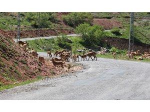 Tunceli'de dağ keçileri sürü halinde karayoluna indi