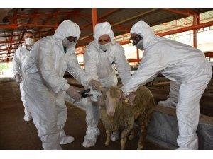 Manisa'da hayvan sağlığı ekibi iş başında