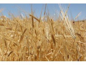 Sezonun ilk buğdayı 1 lira 73 kuruştan alıcı buldu