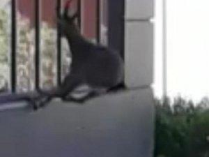 Elazığ'da yaban keçisi, şehir hastanesinin bahçesinde görüntülendi