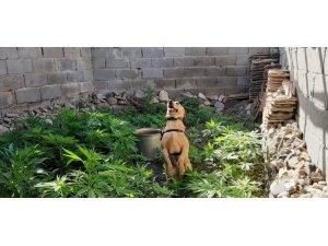 Hassas burun 'Roket' kenevir bahçesini buldu