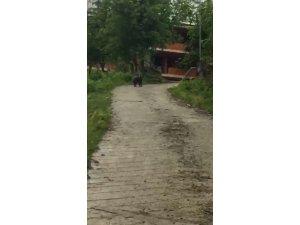 Köye kadar inen yavru ayı kamerayla görüntülendi