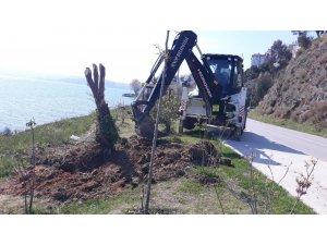 """Sinop Belediyesi: """"Kayalık Sokak'taki zeytin ağaçları iyileştirildi"""""""