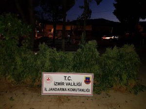 İzmir'de 3 bin 574 kök Hint keneviri ele geçirildi