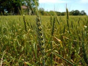 """Yerli buğday """"kirve"""" tarla günü ile tanıtılacak"""