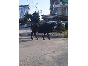 Kurbanlık inek firar etti