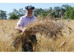 Karakılçık buğdayında ilk hasat yapıldı
