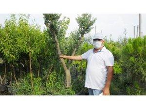 Balıkesir'de zeytin ağaçları saksıya girdi