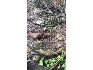 Artvin'de yavru ayıyı vuran ve köpekleri üzerine salan kişi yakalandı