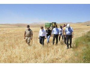 Gürün'de buğday hasadı başladı