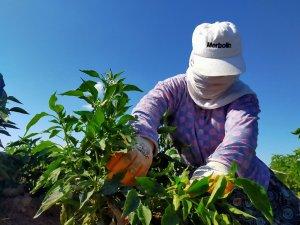 Tarım işçilerinin aşırı sıcak havada 'maskeli' zorlu mesaisi, maske takmayanlara adeta ders veriyor