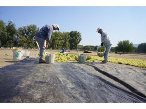 Sarıgöl'de kurutmalık üzümler serilmeye başlandı