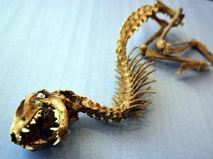 Tanımlanamayan hayvan iskeleti bulundu