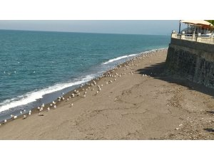 Karadeniz'de sahiller martılara kaldı