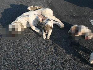 Yavru köpekler ölen annelerinin başından ayrılmadı