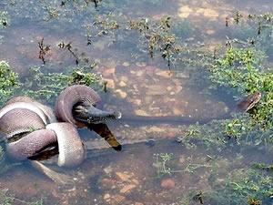 Yılan ile timsah arasında ölümcül savaş