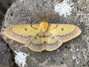 Beytüşşebap'ta boynuzlu kelebek görüldü
