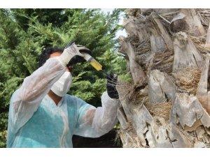 Aliağa Belediyesinden kırmızı palmiye böceğine karşı etkin mücadele