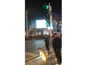 Sokak köpeği yolun karşısına geçmek için yeşil ışığı bekledi