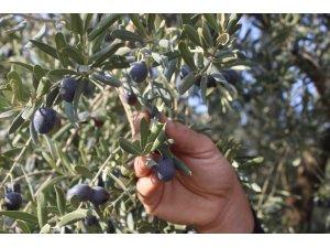 Dünyanın en kaliteli sofralık zeytinlerinin hasadı başladı