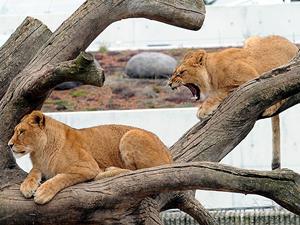 Kopenhag Hayvanat Bahçesi 4 aslanı uyuttu