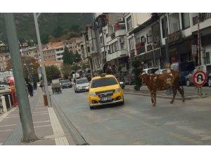 Amasya'da sahibinden kaçan boğa trafiği birbirine kattı