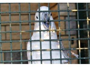 Bu papağanı duyan kulaklarına inanamıyor