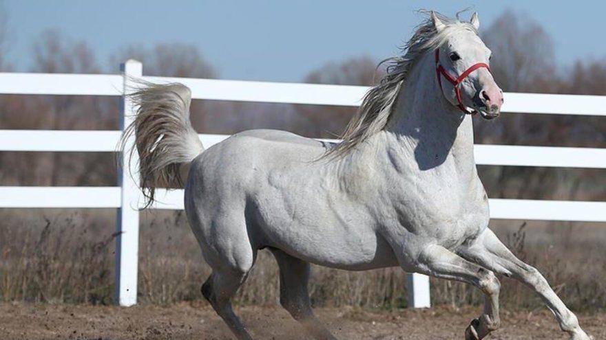 Şampiyon atların spermlerini de aldılar!